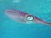 Caribbean Reef Squid At Honduras Bay Islands