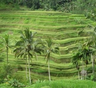 Tegalalang Ricefield View,Bali Island - Indonesia