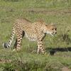 Cheetah At Maasai Mara