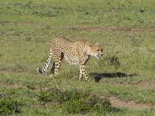 Cheetah At Maasai Mara