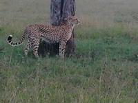 Cheetah Maji Ya Fisi