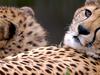 Cheetahs Houston Zoo