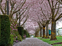Cherry Blossoms Tunnel