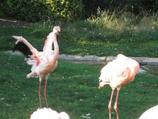 Cleveland Metroparks Zoo Flamingos