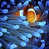Clownfish - Sipadan - Sabah