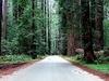 Coastal Redwoods CA