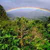 Coffee Plants - Bouquete Panama