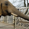 Colchester African Elephant