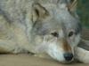 Colchesterzoowolf