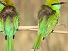 Corbett Bird Watching And Nature Treks - Bee Eaters