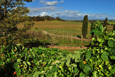 Vineyard At Coriole Wines