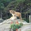 Couple Of Lions @ Wellington Zoo - North Island NZ