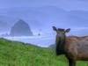 Cow Elk Near Haystack Rock