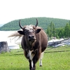 Cow & Lake Hovsgol