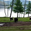 Cows Near Road & Lake