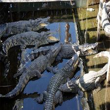 Crocodile Farm Siem Reap