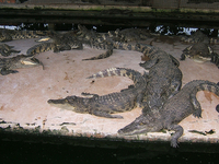Mamba Village Visit (Crocodile Farm Tour)