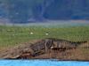 Crocodile On The Kabini River