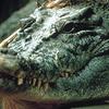 Crocodile Satkosia