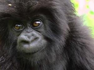 December Holiday Gorilla Package