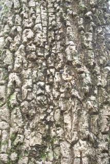 Caldcluvia Paniculosa Corky Bark