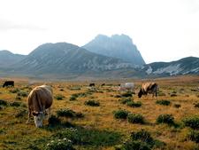 Cows Graze At Campo Imperatore