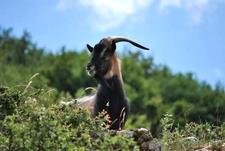 Montecristos Goat