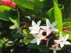 Carissa Carandas Flowers