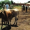 Wau Cattle Market