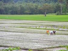 Farmers At Caramoan