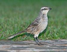 Chalk Browed Mockingbird