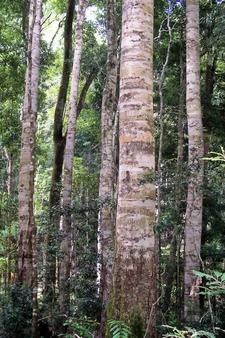 Coachwood At Nymboi Binderay National Park