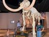 Columbian Mammoth In Lobby