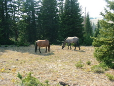 Custer National Forest Horses