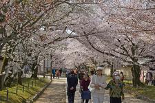 Daigoji Cherry Blossoms