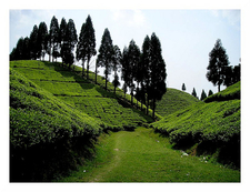 Darjeeling Tea Gardan