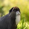 De Brazza's Monkey In Ethiopia