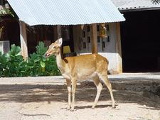 Deer In The Tiger Temple
