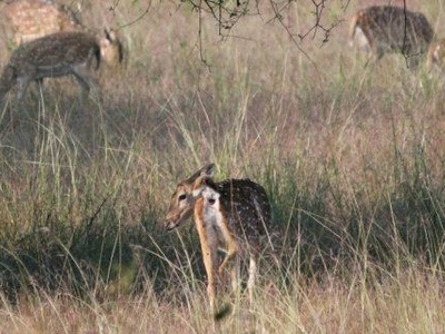 Deers In Tadoba Tiger Reserve