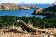 Dragon On Rinca Island