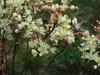 Dropwort Plant