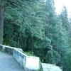 Pines Along Landour Trail