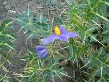 Wild Cactus Flower At Ranakpur
