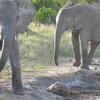 Kenyan Pachyderms