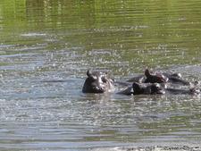 Frolicking Hippos