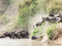 Masai Mara Migration 2018