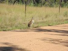 Kangaroo Along Cascade Trail