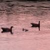 Duck Family At Laguna Capri - Argentina