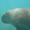 Dugong Profile