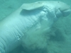 Dugong Rolling On Sea Floor